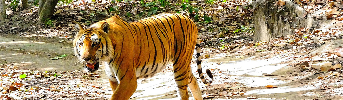 Corbett-National-Park-Tiger-Rohit-Manuja1